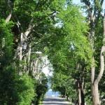 castine elm trees